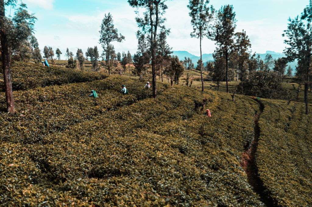 sri lanka persone campo di thè