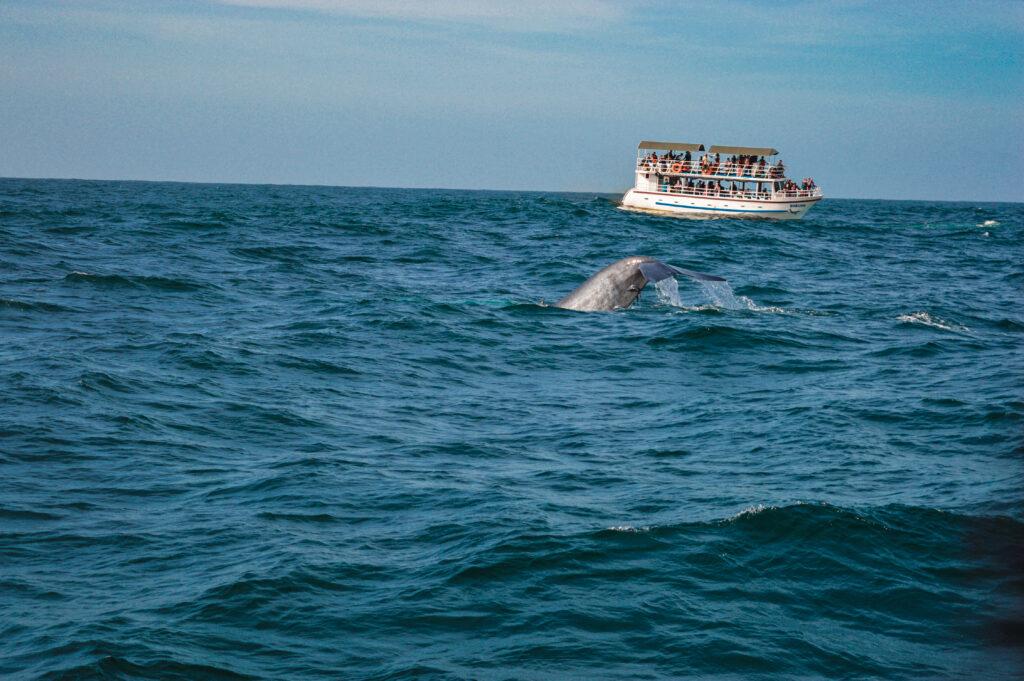 balene mirissa sri lanka