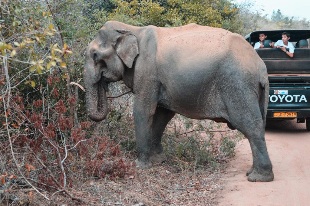elefante sri lanka